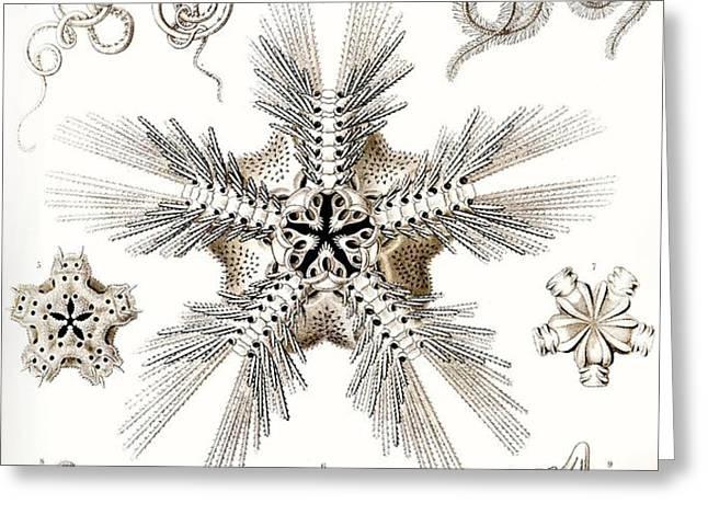 Kunstformen der Natur Greeting Card by Ernst Haeckel