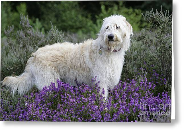 Breeds Greeting Cards - Labradoodle Dog Greeting Card by John Daniels