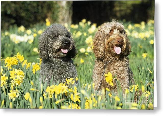 Mixed Labrador Retriever Greeting Cards - Labradoodles In Daffodils Greeting Card by John Daniels
