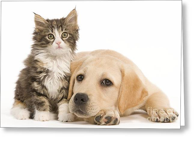 Labrador And Forest Cat Greeting Card by Jean-Michel Labat