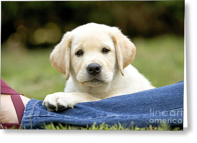 Cute Labradors Greeting Cards - Labrador Puppy Dog Greeting Card by Jean-Michel Labat