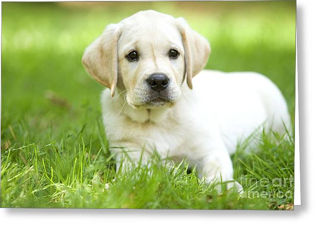 Labrador Puppy Greeting Card by Jean-Michel Labat