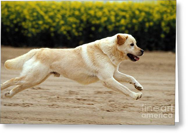 Happy Labradors Greeting Cards - Labrador Retriever Dog Greeting Card by Jean-Michel Labat