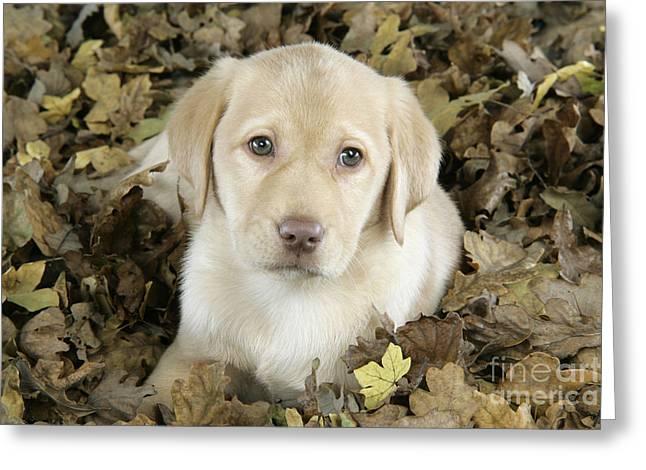 Old Labrador Greeting Cards - Labrador Retriever Puppy Greeting Card by John Daniels