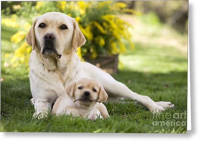 Young Labrador Retrievers Greeting Cards - Labrador With Puppy Greeting Card by Jean-Michel Labat