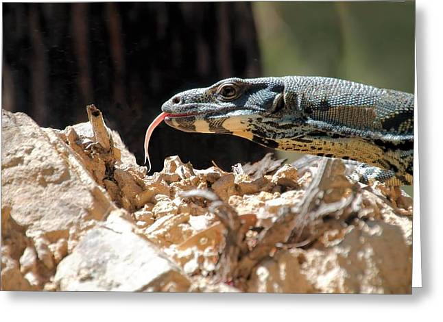 Goanna Greeting Cards - Lace Monitor Greeting Card by David Rich