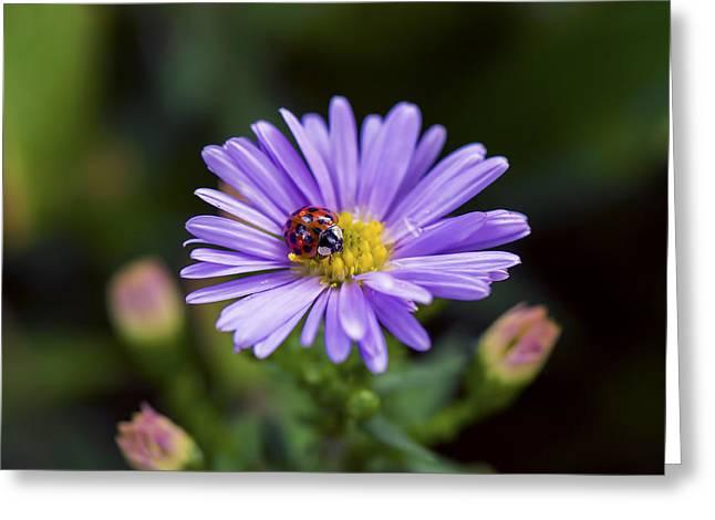 Invertebrates Greeting Cards - Ladybug - Invertebrate Greeting Card by May L