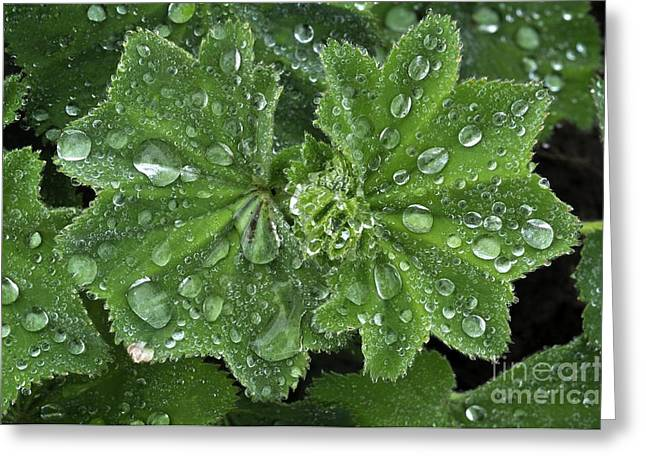 Dewdrops Greeting Cards - Ladys Mantle Alchemilla Alpina Greeting Card by Colin Varndell
