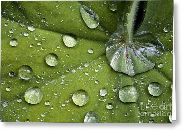 Dewdrops Greeting Cards - Ladys Mantle Leaf Alchemilla Mollis Greeting Card by Dr. Keith Wheeler