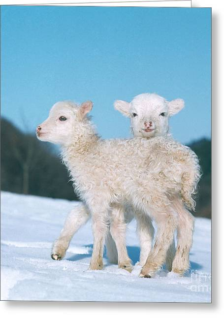 Barn Yard Greeting Cards - Lambs Greeting Card by Hans Reinhard