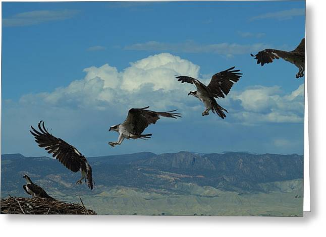 Large Birds Greeting Cards - Landing Pattern of the Osprey Greeting Card by Ernie Echols
