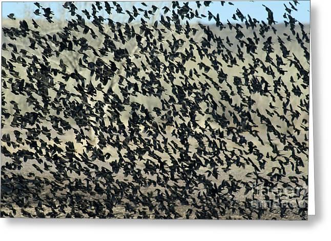Cowbird Greeting Cards - Large Flock Of Blackbirds And Cowbirds Greeting Card by Mark Newman