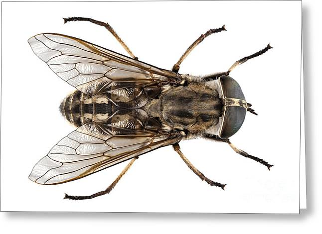 Diptera Greeting Cards - Large marsh horsefly species Tabanus autumnalis Greeting Card by Pablo Romero