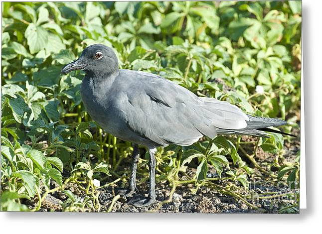 Galapagos Wildlife Greeting Cards - Lava Gull Greeting Card by William H. Mullins