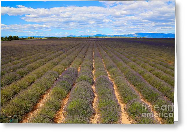 World Destination Photographs Greeting Cards - Lavender Field, French Provence Greeting Card by Adam Sylvester