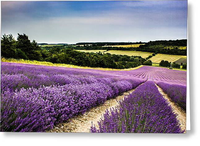 Lavender Fields Greeting Cards - Lavender fields Greeting Card by Ian Hufton
