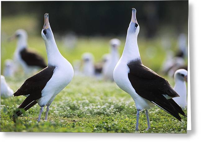 Wildlife Celebration Greeting Cards - Laysan Albatross Courtship Dance Hawaii Greeting Card by Tui De Roy