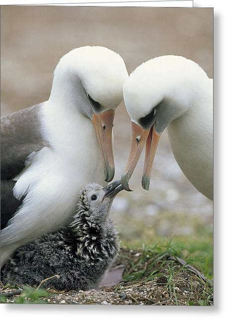 Laysan Albatross Parents Exchanging Greeting Card by Tui De Roy