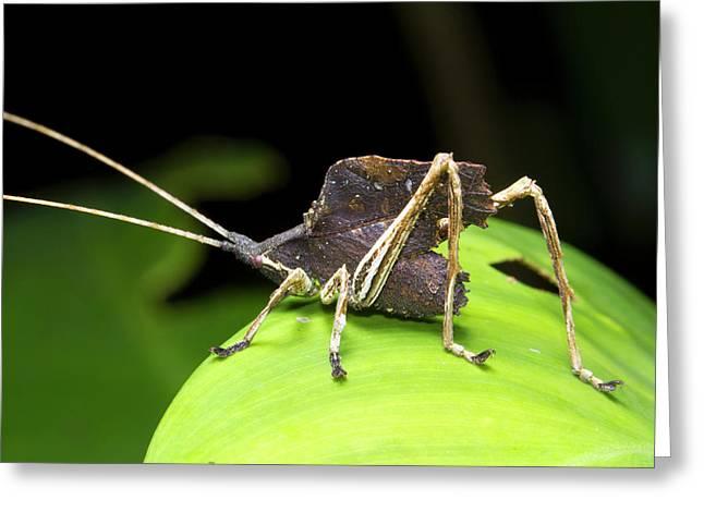 Leaf Mimic Bush-cricket Greeting Card by Dr Morley Read