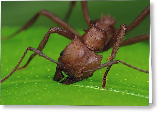Animals And Insects Greeting Cards - Leafcutter Ant Cutting Papaya Leaf Greeting Card by Mark Moffett