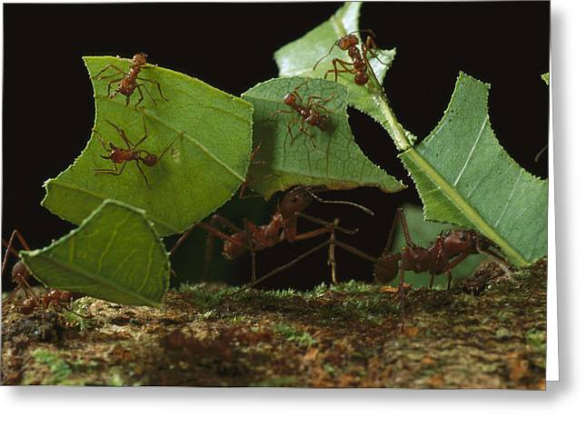Atta Greeting Cards - Leafcutter Ants Carrying Leaves French Greeting Card by Mark Moffett