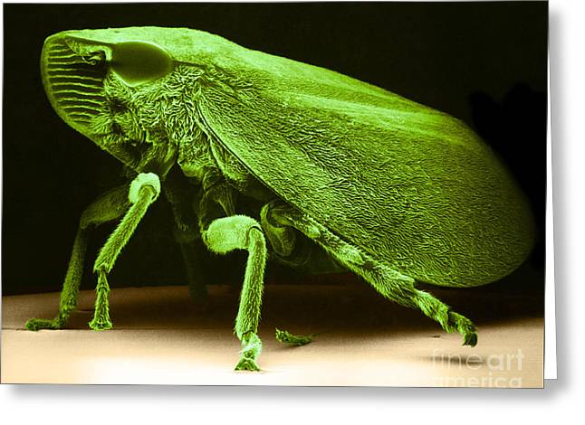 Watercress Greeting Cards - Leafhopper Sem Greeting Card by David M Phillips