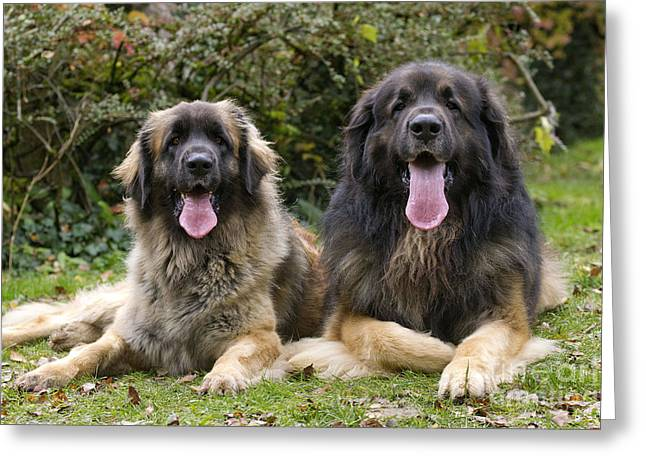 Leonberger Greeting Cards - Leonberger Dogs Greeting Card by Jean-Michel Labat