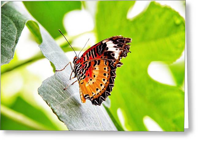 Lepidoptera Greeting Cards - Leopard Lacewing butterfly Greeting Card by Jane Rix