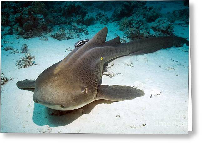 Leopard Fish Greeting Cards - Leopard Shark And Remora Greeting Card by Georgette Douwma