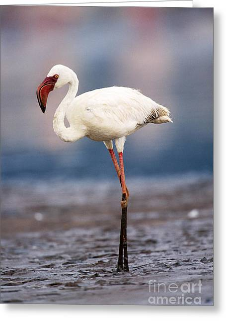Flamingo Greeting Cards - Lesser Flamingo Greeting Card by Art Wolfe