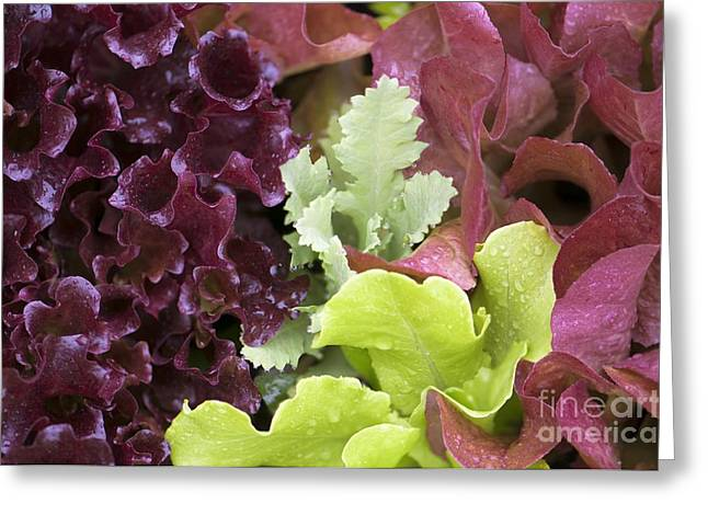 Lettuce Greeting Cards - Lettuce And Poppy Seedling Greeting Card by Maria Mosolova
