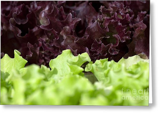 Lettuce Greeting Cards - Lettuces Greeting Card by Angel Fitor