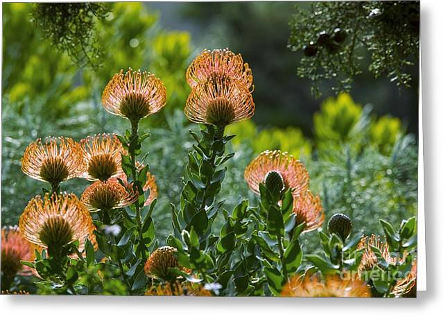 Cape Town Greeting Cards - Leucospermum Cordifolium Greeting Card by Bob Gibbons