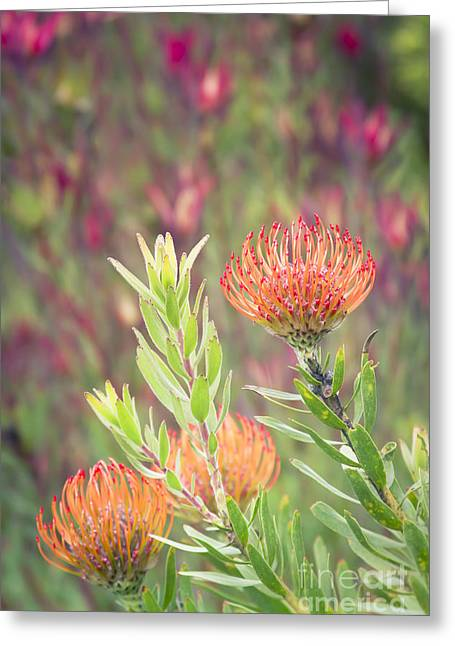 Skyrockets Greeting Cards - Leucospermum Pincushion Protea - Tropical Sunburst Greeting Card by Sharon Mau
