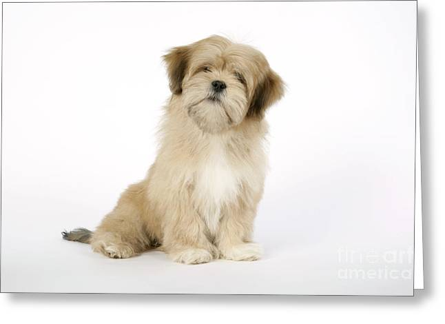 Head Tilt Greeting Cards - Lhasa Apso Puppy Dog Greeting Card by John Daniels