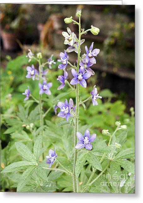 Emetic Greeting Cards - Lice Bane Delphinium Staphisagria Greeting Card by Sheila Terry