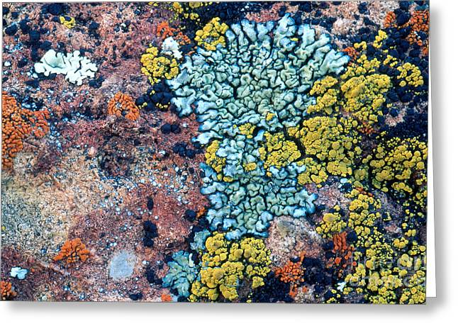 Symbiotic Relationship Greeting Cards - Lichens On A Rock Greeting Card by William H. Mullins