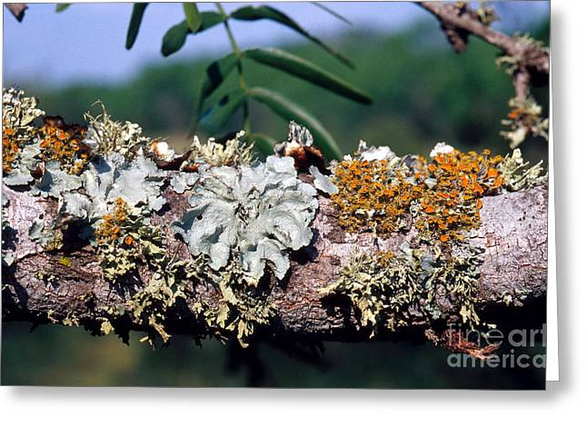 Symbiotic Relationship Greeting Cards - Lichens On A Tree Greeting Card by Gregory G. Dimijian, M.D.