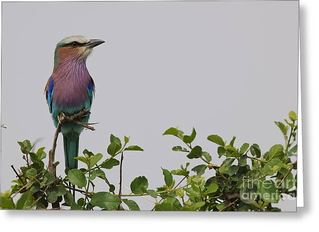 Lilac Roller Greeting Cards - Lilac-breasted Roller Greeting Card by John Shaw