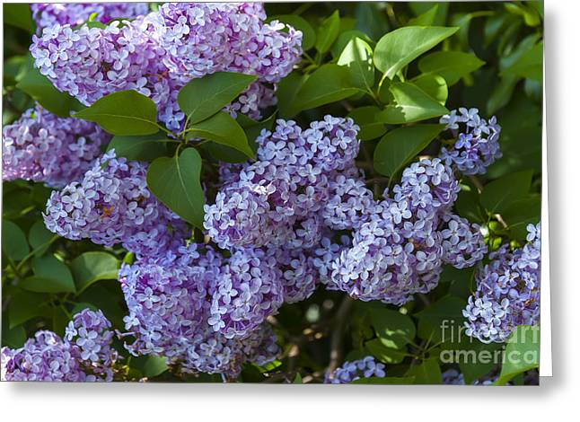 Dusky Pink Greeting Cards - Lilac Greeting Card by Svetlana Sewell