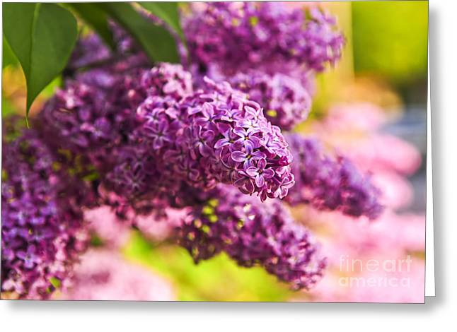 Fragrance Greeting Cards - Lilacs Greeting Card by Elena Elisseeva