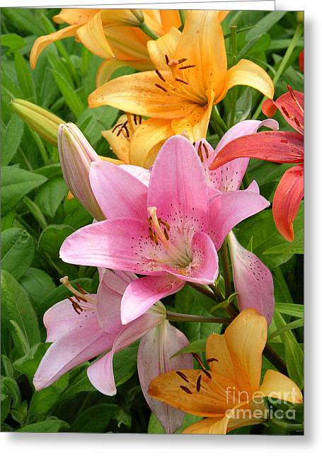 Limelight Photographs Greeting Cards - Lilies Lilium Sp Greeting Card by Tony Craddock