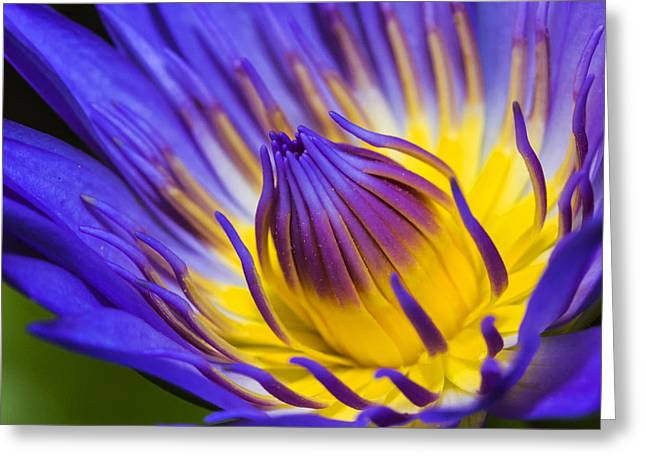 Water Lilly Greeting Cards - Lilly  Greeting Card by James Roemmling