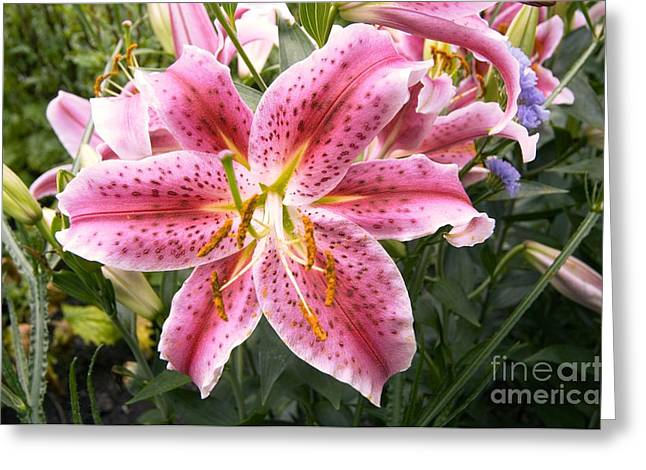Lilium Stargazer Lily Greeting Cards - Lily Lilium Stargazer Greeting Card by Adrian Thomas