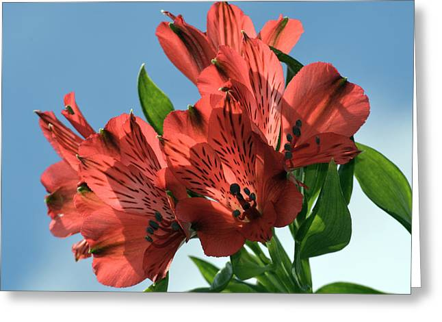 Peruvian Lily Greeting Cards - Lily Sun Dance. Greeting Card by Terence Davis