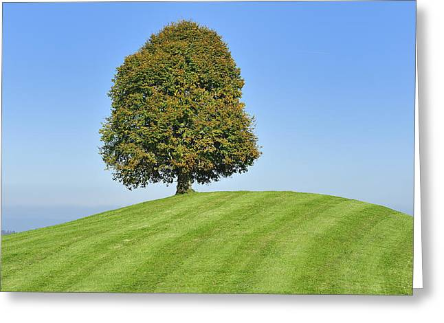 Zug Greeting Cards - Lime Tree Zug Switzerland Greeting Card by Thomas Marent