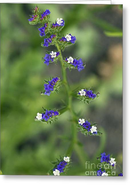 Limonium Greeting Cards - Limonium Sinuatum Greeting Card by Bob Gibbons