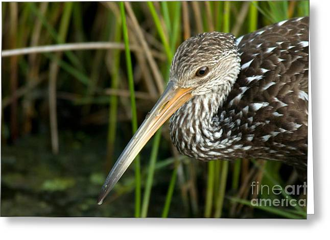 Carrao Greeting Cards - Limpkin Greeting Card by Mark Newman