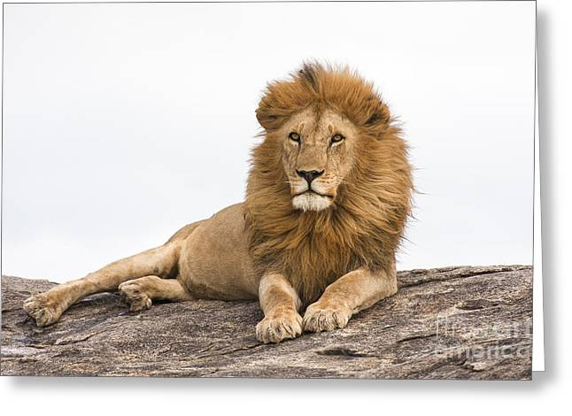 Majestic Cat Greeting Cards - Lion 3 Greeting Card by Eyal Bartov