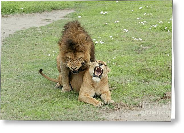 Nca Greeting Cards - Lion And Lioness Mating Greeting Card by PhotoStock-Israel